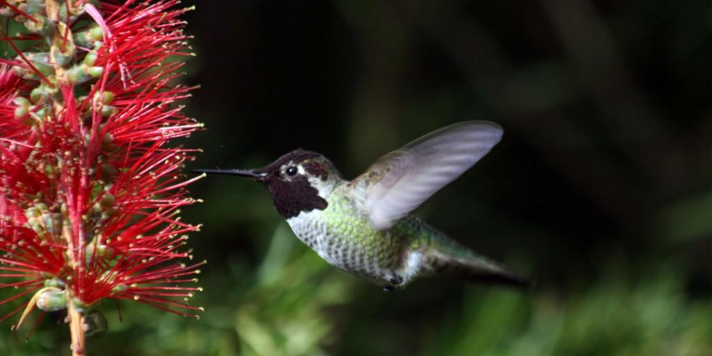 Hummingbird_in_ggp_7