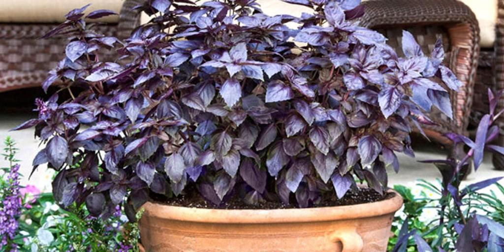 purple-basil-pot-lo